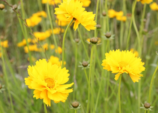 八重咲のオオキンケイギクが咲いてる様子の写真