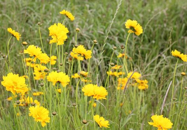 野原に咲くオオキンケイギク