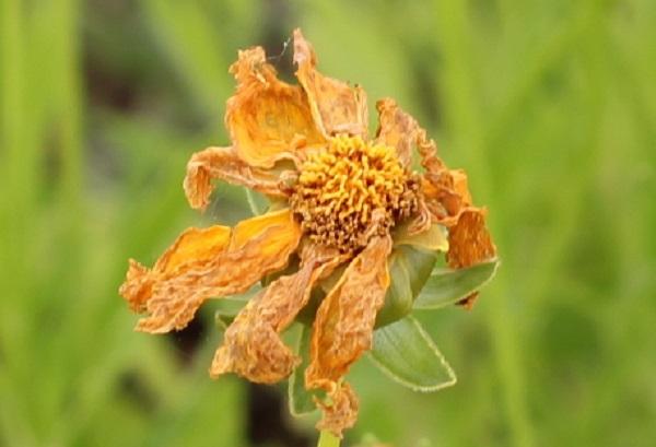 オオキンケイギクの花、枯れた様子の写真