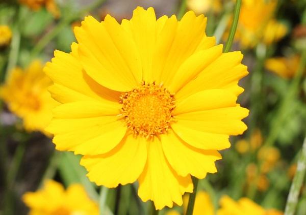 オオキンケイギクの花のアップ写真