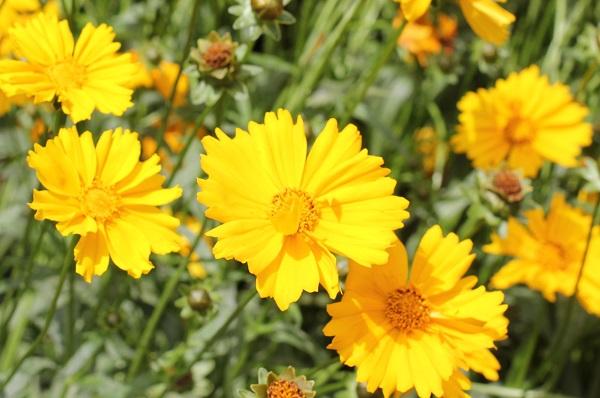 オオキンケイギクの花の様子