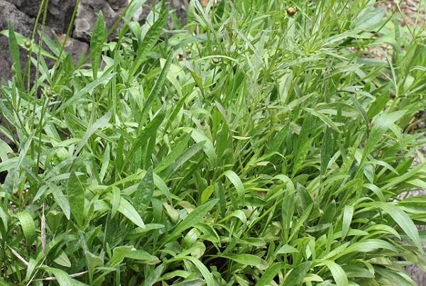 茂ったオオキンケイギクの葉の写真