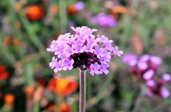 ヤナギハナガサ(柳花笠)の花の写真