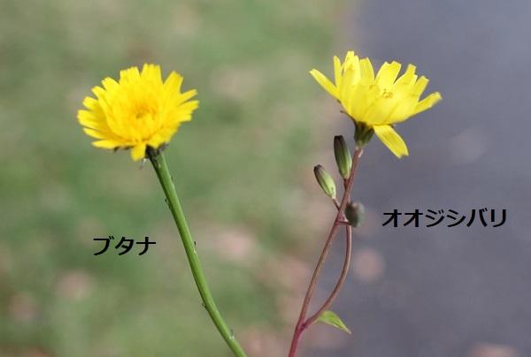 オオジシバリとブタナの比較写真