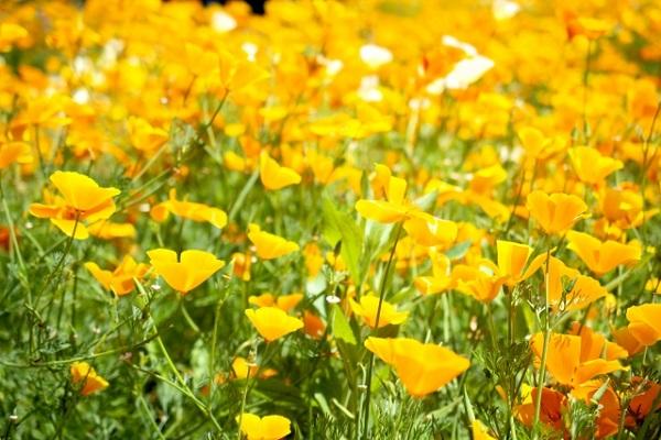 花菱草(ハナビシソウ)がたくさん咲いている様子の写真