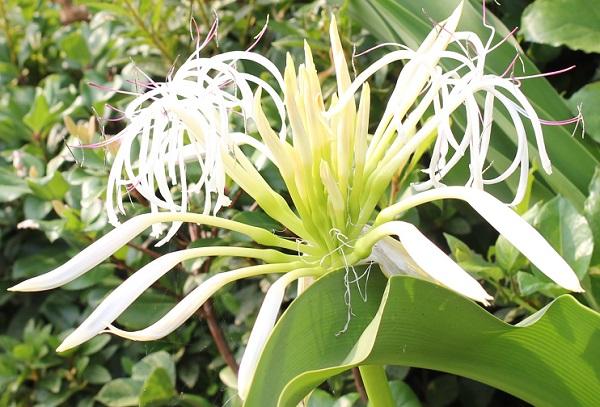 ハマユウ(ハマオモト)の花 咲き始め