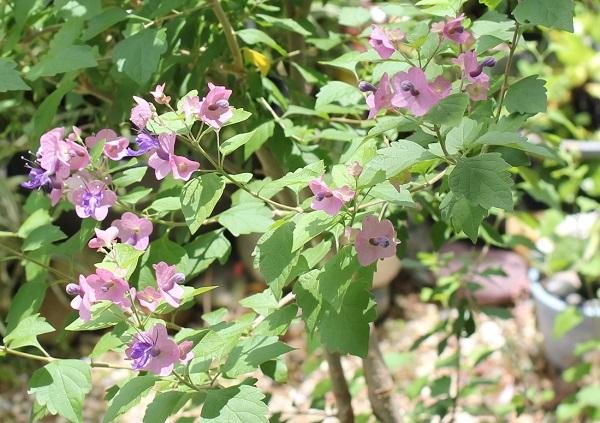 6月の終わりに咲いた庭のチャイニーズハットの花