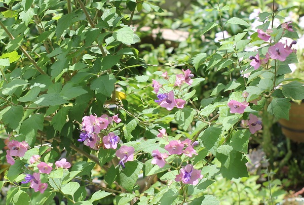 チャイニーズハットの花と葉の様子の写真