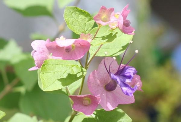 チャイニーズハットの花や蕾の写真