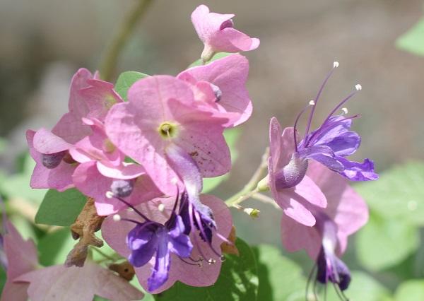 チャイニーズハットの花、花後の様子の写真