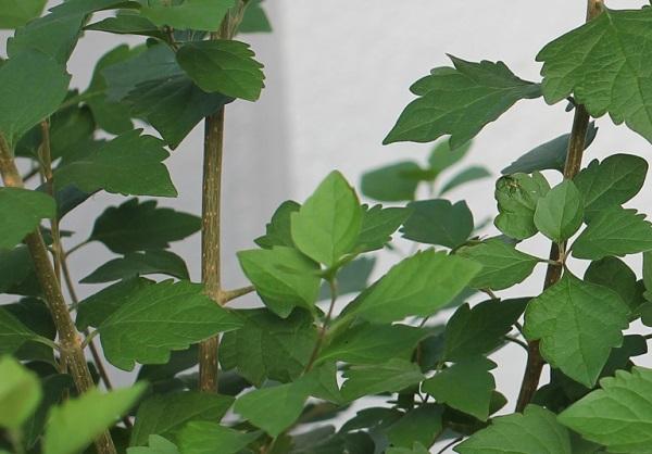 チャイニーズハットの葉と茎の様子の写真