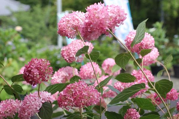 美しく咲くピンクアナベルの様子の写真