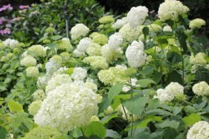 咲き誇ってるアナベルの花