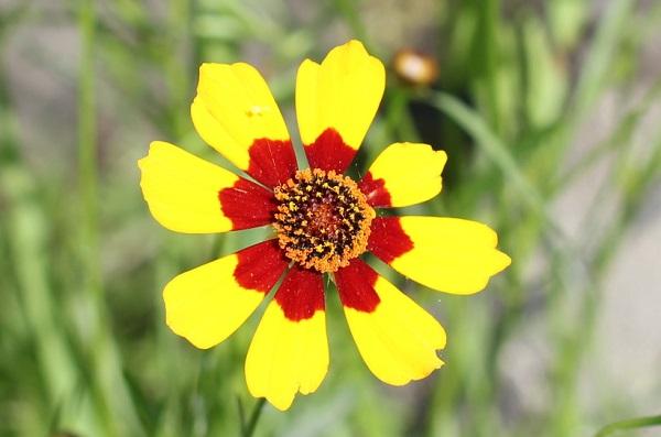 ハルシャギク(波斯菊)の花のアップ写真