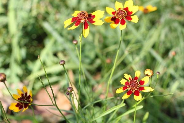 ハルシャギク(波斯菊)が咲いてる様子の写真