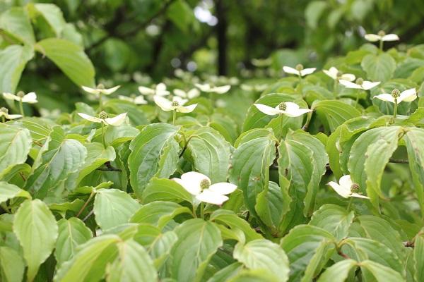 山で見かけたヤマボウシの花の写真