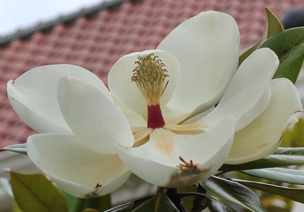 花が開いてるタイサンボク、雄しべが落ちてる様子と赤い花の基部の様子