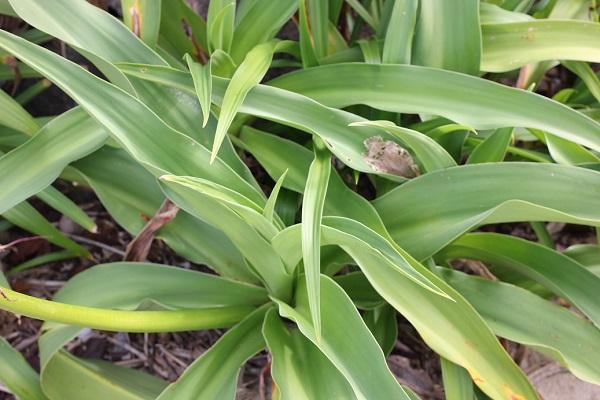 ハマユウ(ハマオモト)の葉