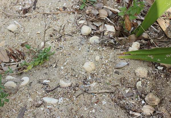 海岸にハマユウ(ハマオモト)がたくさんある様子の写真