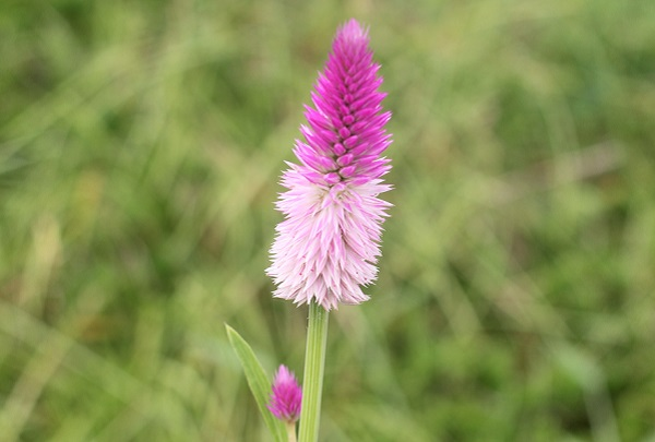ノゲイトウ(野鶏頭)の花のアップ写真