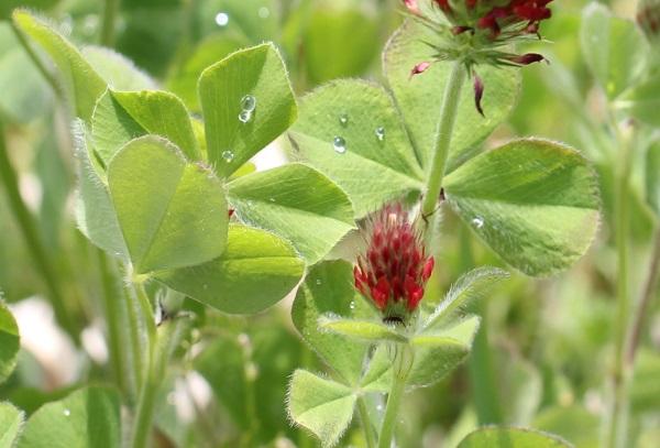 ストロベリーキャンドルの葉の写真