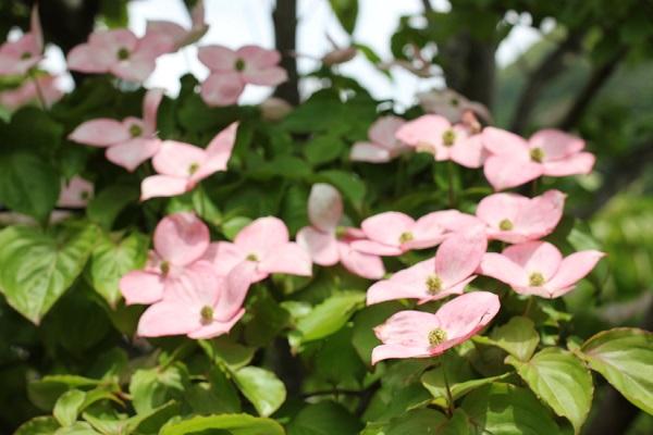 公園で見かけたピンクのヤマボウシの花の写真