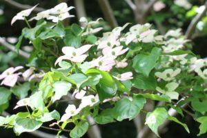 山にさいてるピンクのヤマボウシの写真
