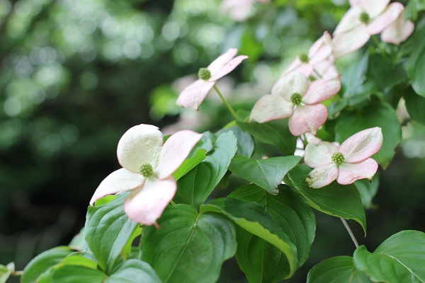 ピンクのヤマボウシが咲いてる様子の写真