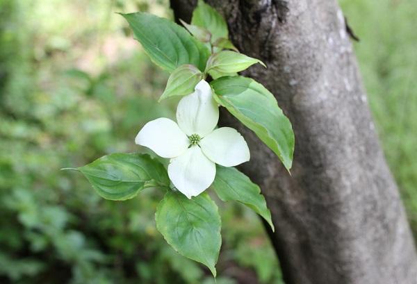 ヤマボウシの花と幹の様子の写真