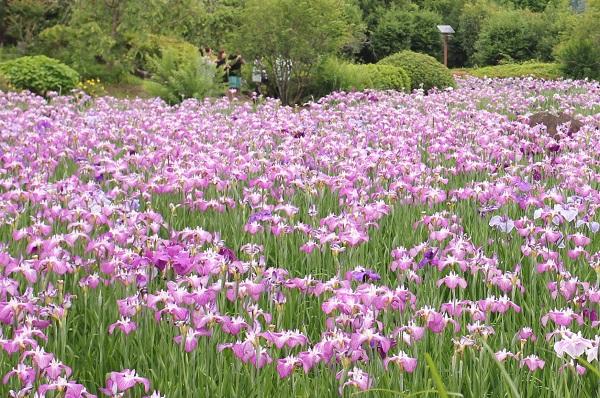 皿山公園に咲き乱れる菖蒲の花の写真