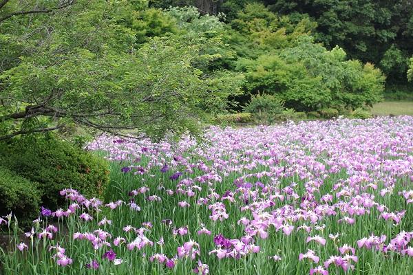 新緑と花菖蒲園の写真