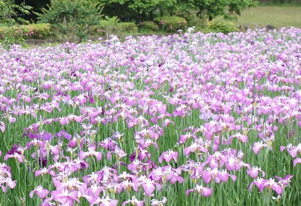 皿山公園、美しいハナショウブの花。