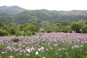 佐々町皿山公園の菖蒲園