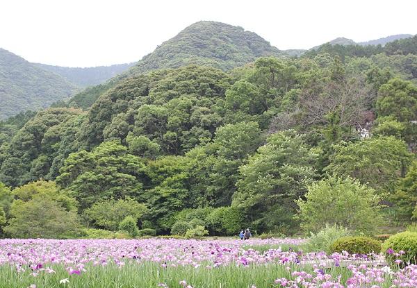 皿山公園 山々を背景に咲く菖蒲の花の写真