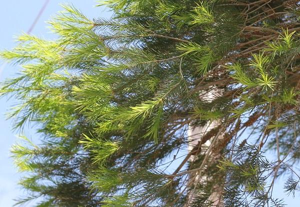 シロバナブラシノキの葉の写真