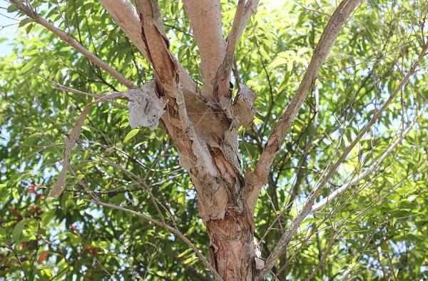 シロバナブラシノキ、ひびわれた幹の様子の写真