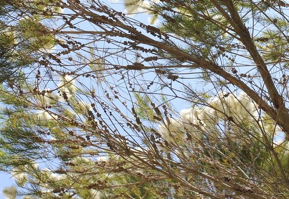 シロバナブラシノキ、枝に実がたくさんついてる写真