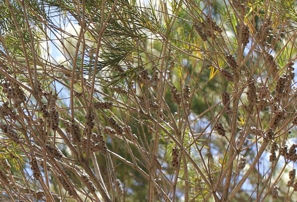枝につくシロバナブラシノキの実(種)
