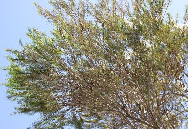 シロバナブラシノキの大きな木