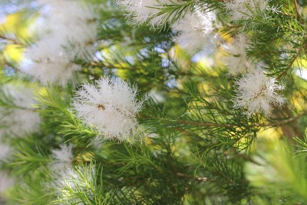 シロバナブラシノキ、初夏に花が咲いてる様子の写真