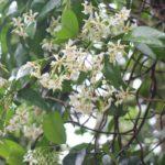 山に咲いてた白いテイカカズラの花