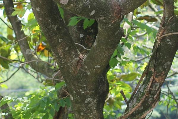 タイサンボク(泰山木)の幹の様子の写真