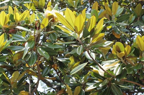 タイサンボク(泰山木)の葉、表や裏の写真