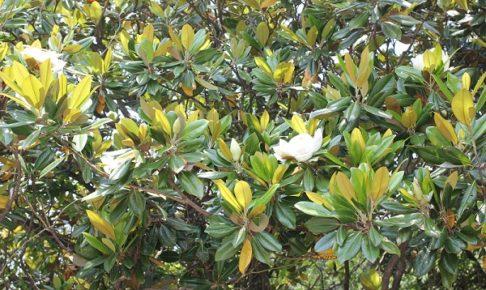 タイサンボク(泰山木)の花が咲いてる写真