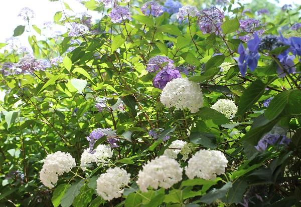 6月に紫陽花とアナベルが一緒に咲いてる様子の写真