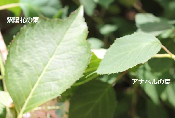 紫陽花とアナベルの葉の違い、比較写真