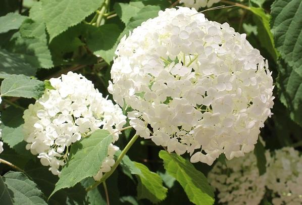 大きな花をつける白いアナベルの写真