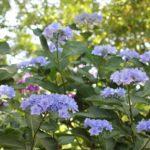 長崎バイオパークに咲いているアジサイの花