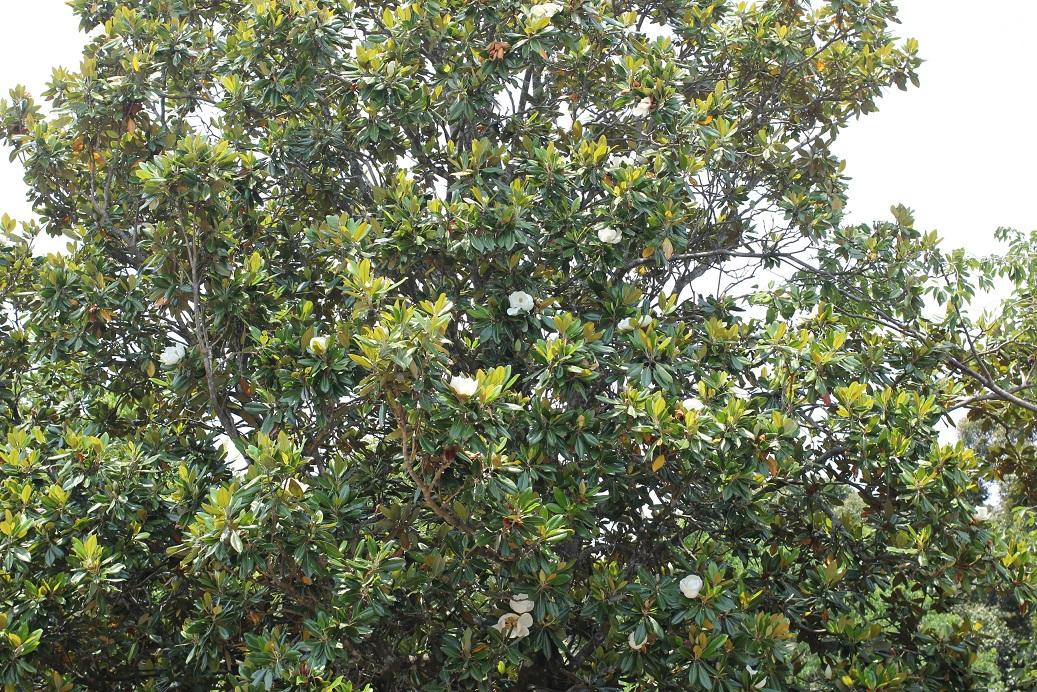 タイサンボク(泰山木)の大きな木の様子