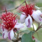 美しいフェイジョアの花の写真